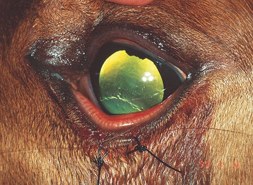 Equine Eyelid Problems – The Horse