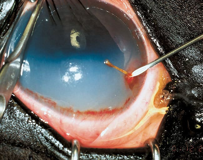 Corneal Disease in the Horse – The Horse
