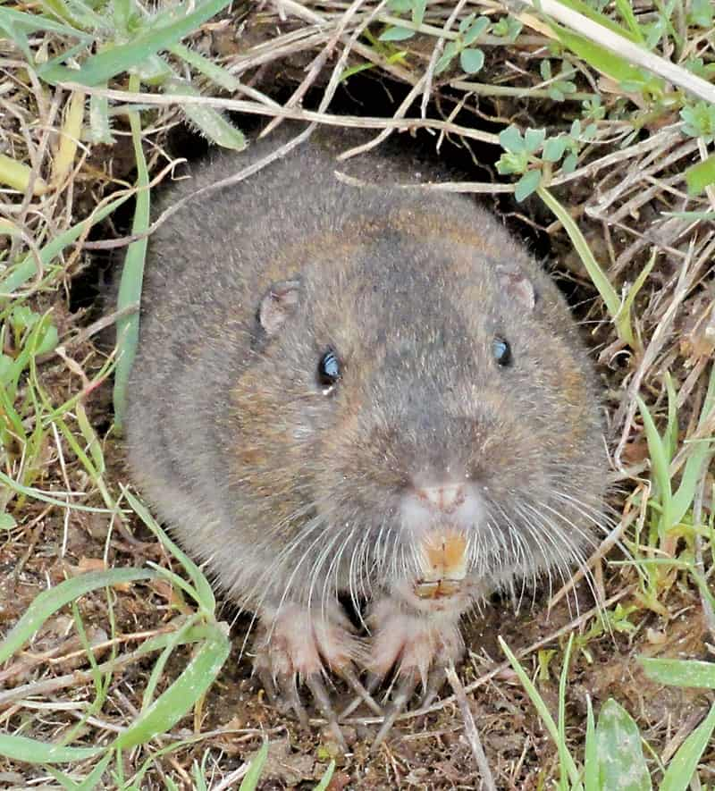 Controlling Burrowing Rodents in Pastures – The Horse
