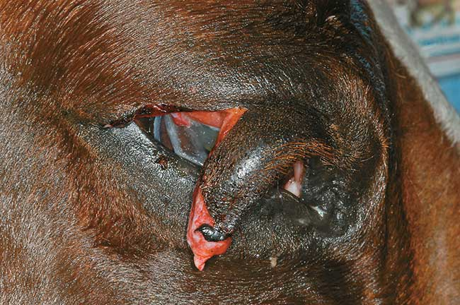 5 Common Equine Eye Injuries – The Horse