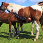 Do Recipient Mares Pass Traits to Foals?