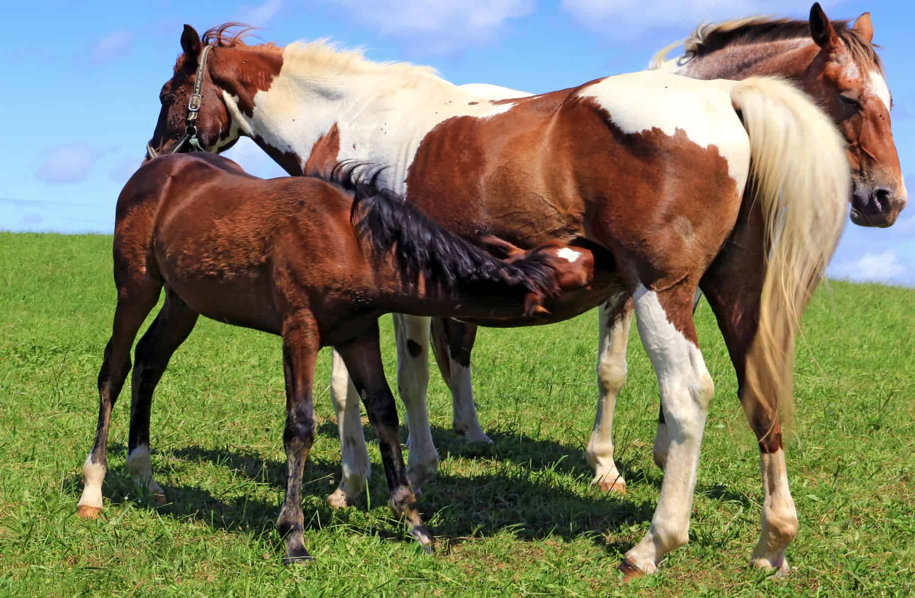 Do Recipient Mares Pass Traits to Foals? – The Horse
