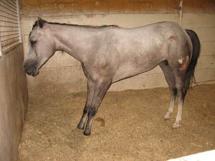 Relieving Laminitis Pain in the Field