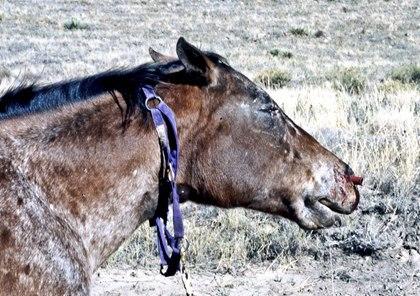 Rattlesnake Bite Recourse In Horses The Horse