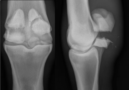 Sesamoid Injuries in Horses: Diagnosis, Treatment, and Prevention