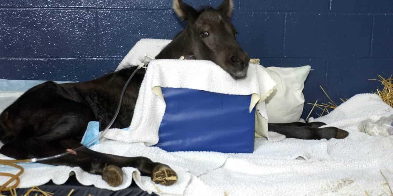 Neonatal Isoerythrolysis in Foals