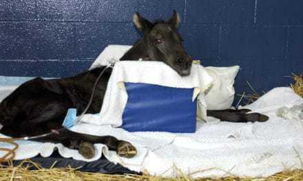 Rare Vertebral Disease of Foals Described (AAEP 2012)