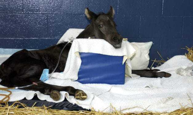 Bladder, Urachus, and Umbilicus Problems in Neonatal Foals