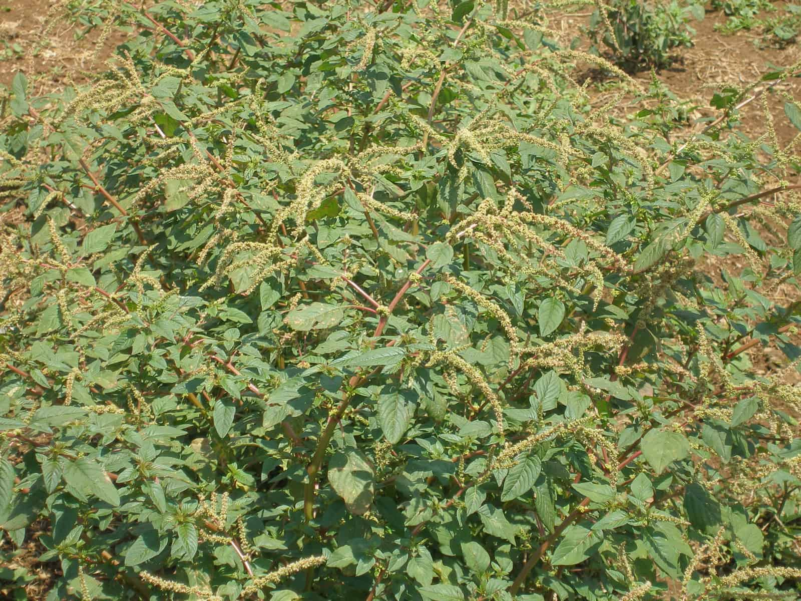 pigweed pictures
