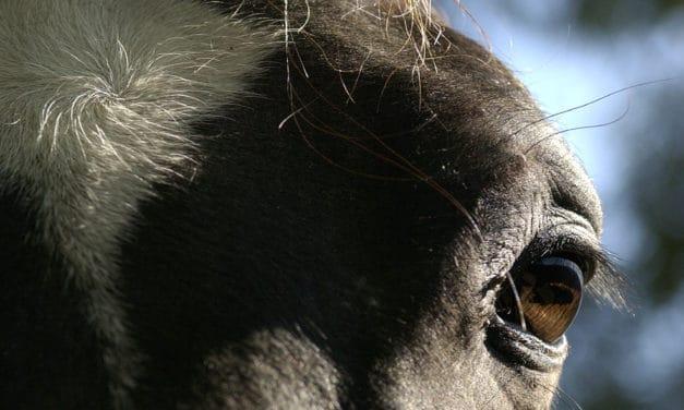 Researchers Examine HERDA Horses' Eyes