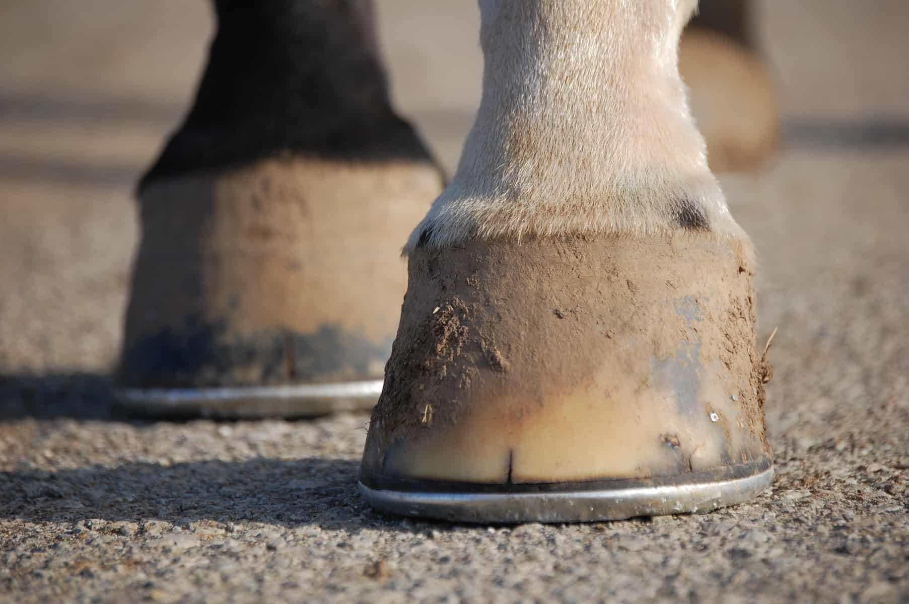 Nutritional Support for Horse Hooves