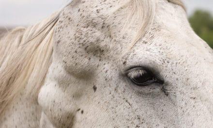 Canine Melanoma Vaccine Testing in Horses Underway