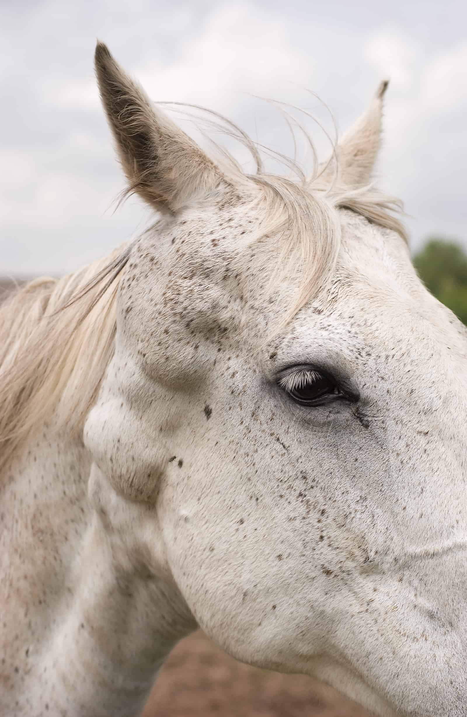 Canine Melanoma Vaccine Testing In Horses Underway