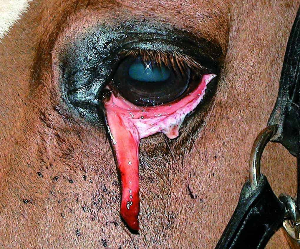Understanding Equine Eyelid Disorders – The Horse