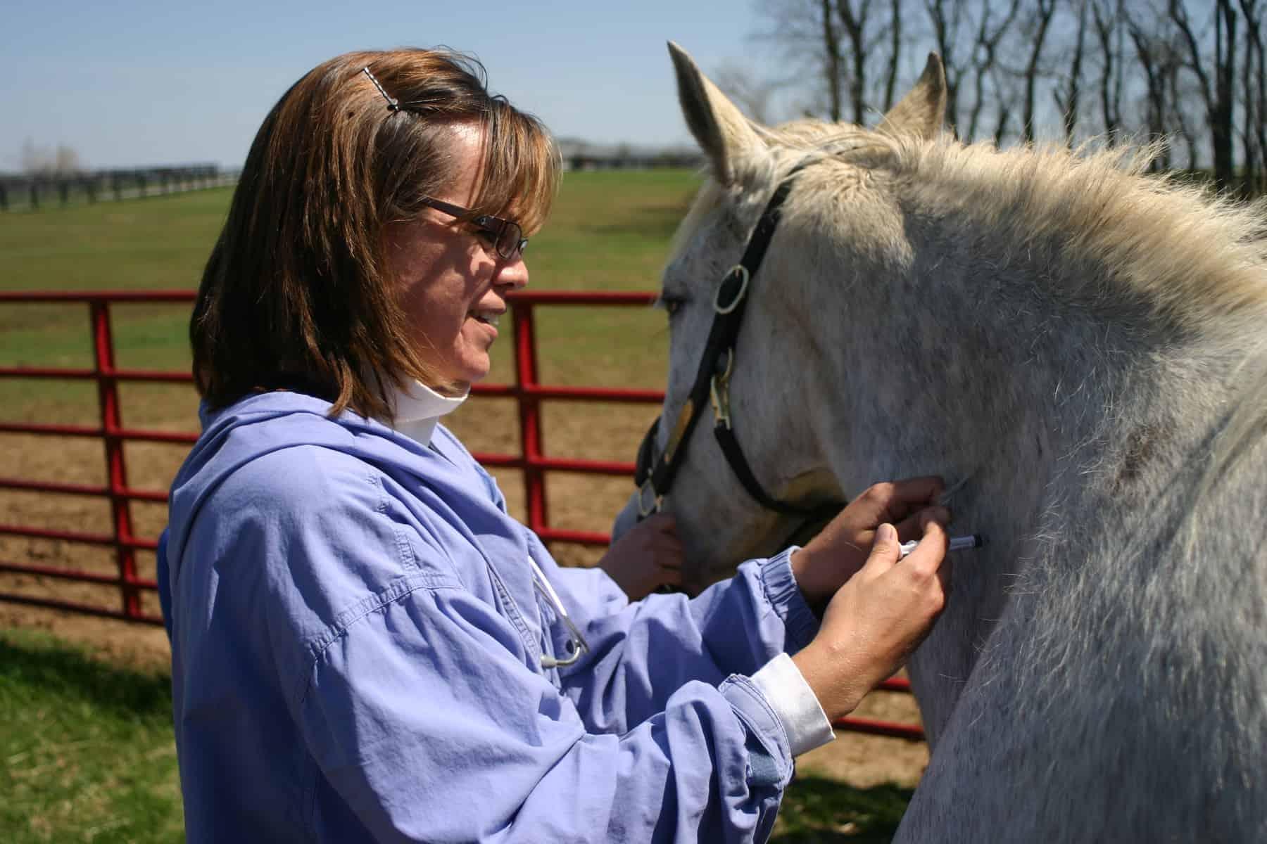 Vet vaccinating older horse