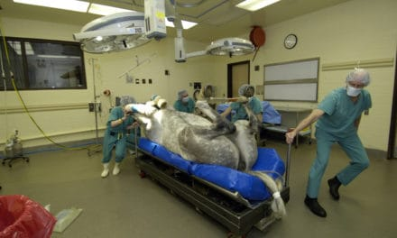 Will My Horse Survive Colic Surgery?