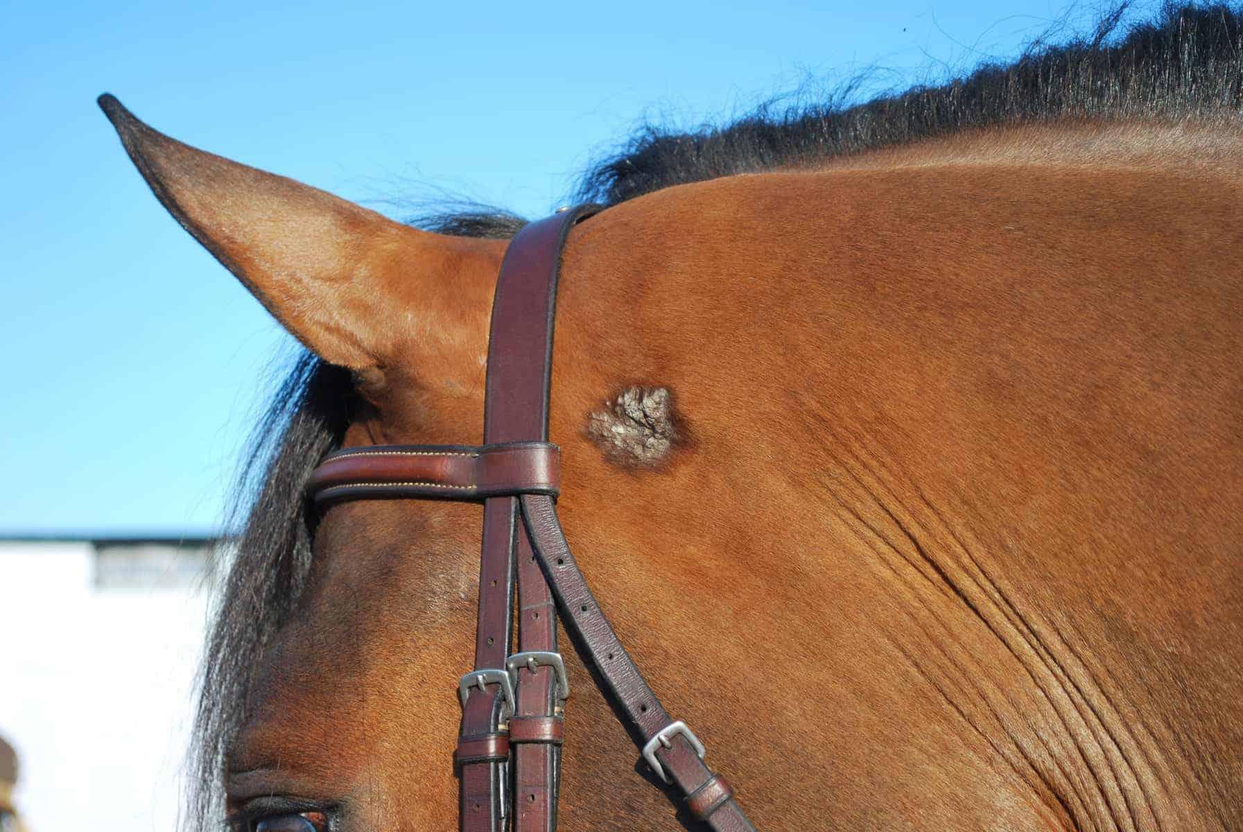 melanoma in horses