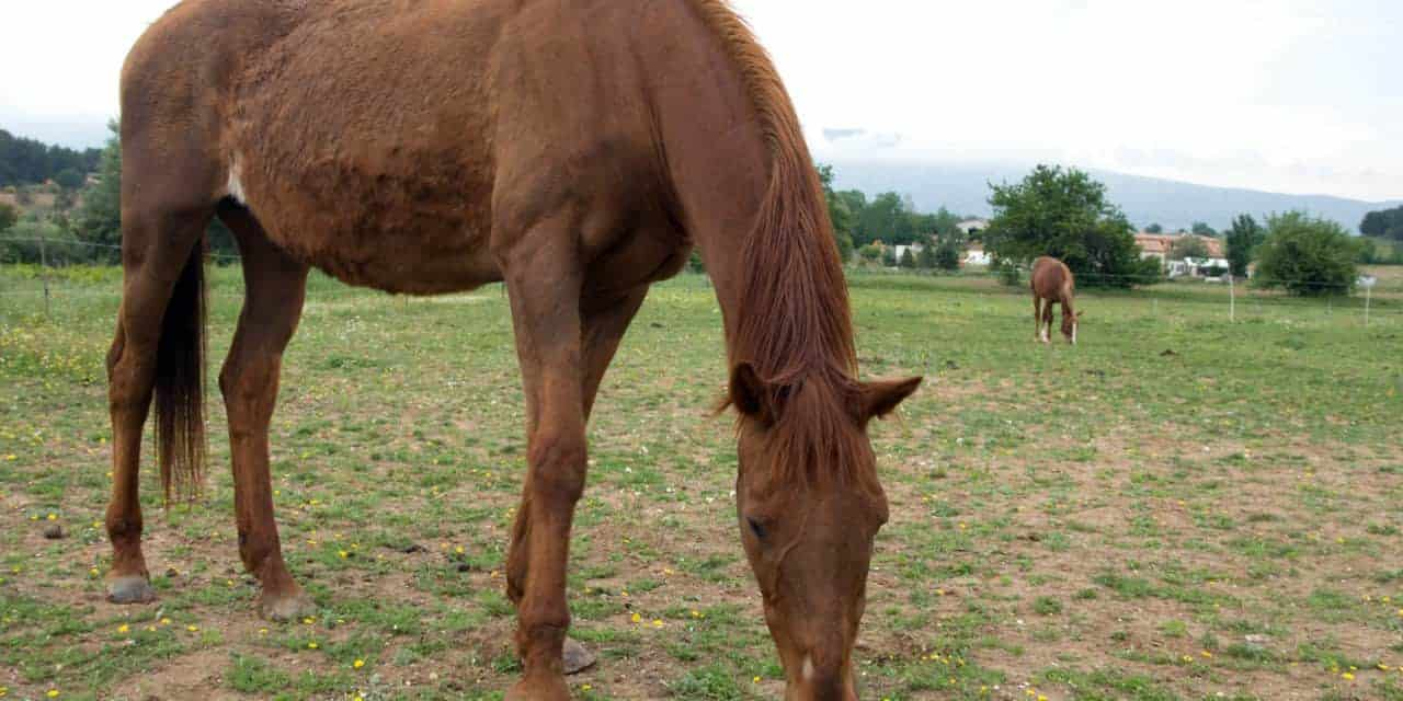 Study Evaluates Unintentional Weight Loss in Horses