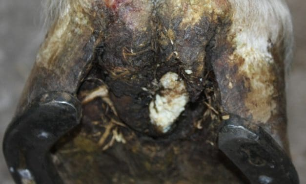 Treating Equine Canker with Topical Cisplatin Chemotherapy