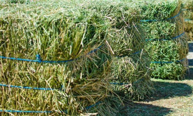 All About Feeding Horses Alfalfa