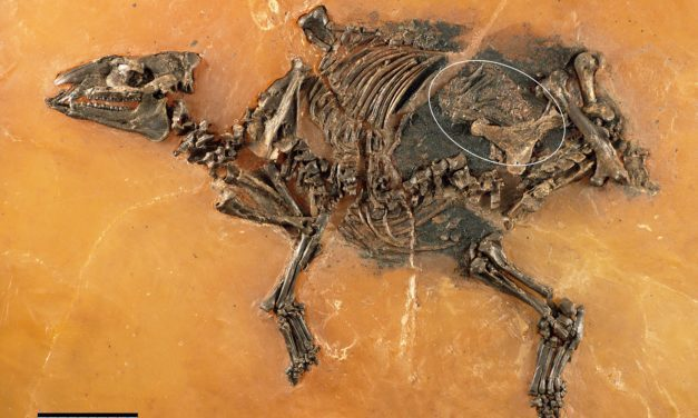 Fossilized Mare Sheds Light on Reproductive Tract Evolution