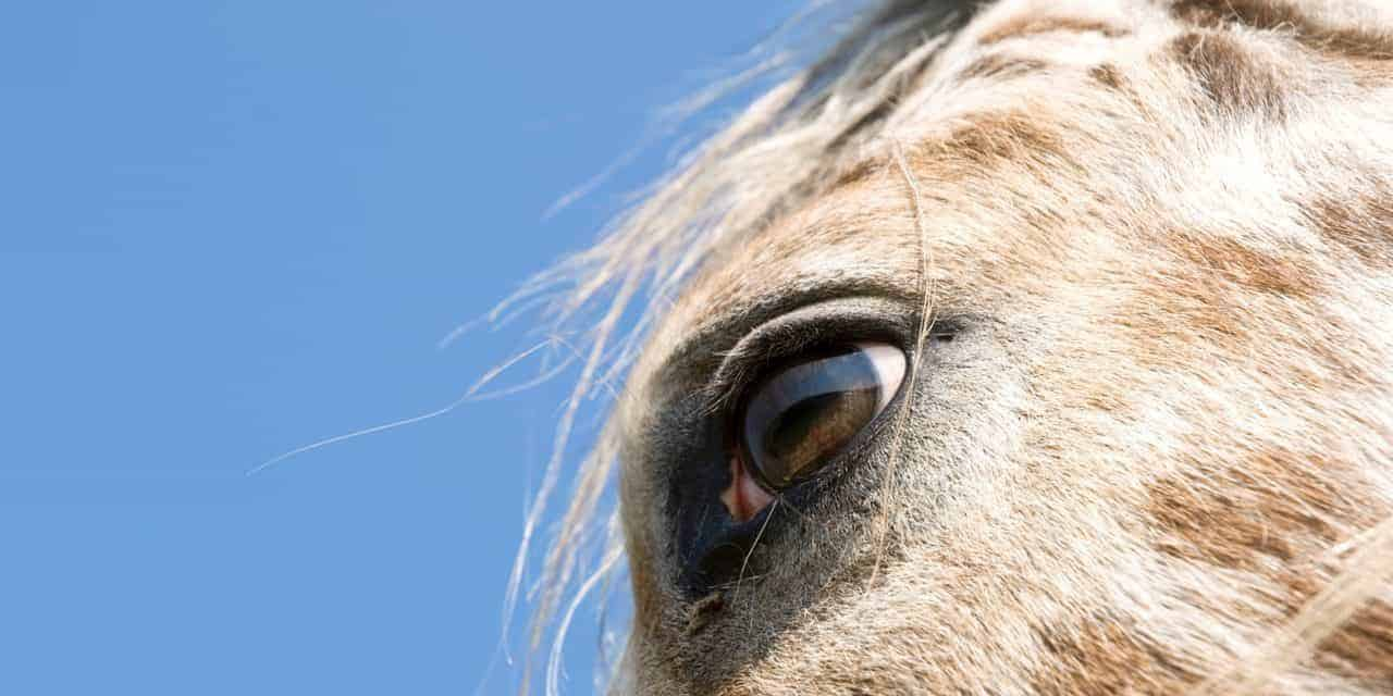 Connecting the Dots: Recurrent Uveitis and Appaloosa Horses – The Horse