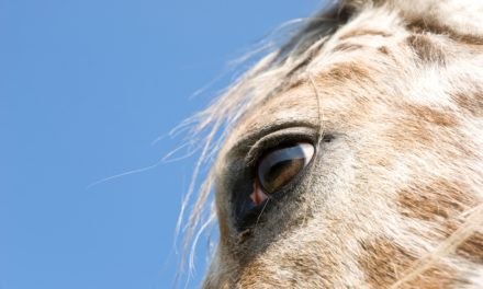 Antibiotic Eye Injections Halt Lepto-Related Equine Recurrent Uveitis