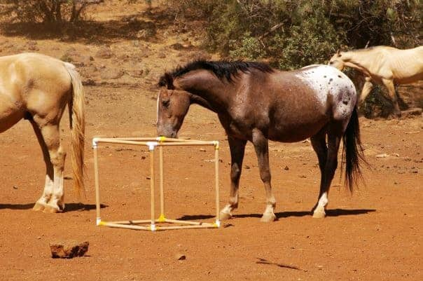 Researchers Assess Youthful Play Behavior in Adult Horses