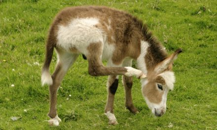 In Donkeys, Breeding White With White Could Be Lethal