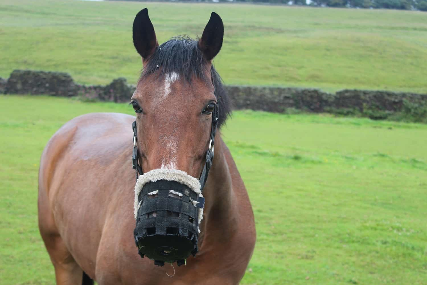 How to Introduce and Use a Grazing Muzzle for Horses