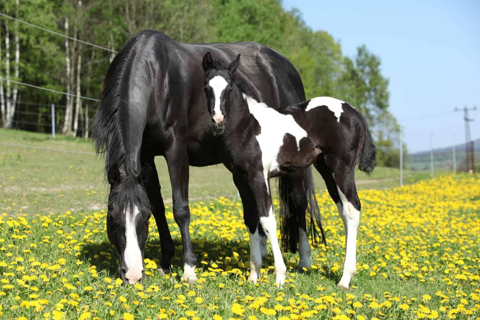 Responsible, Purposeful Horse Breeding – The Horse