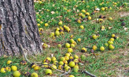 Will Black Walnuts Hurt Horses?