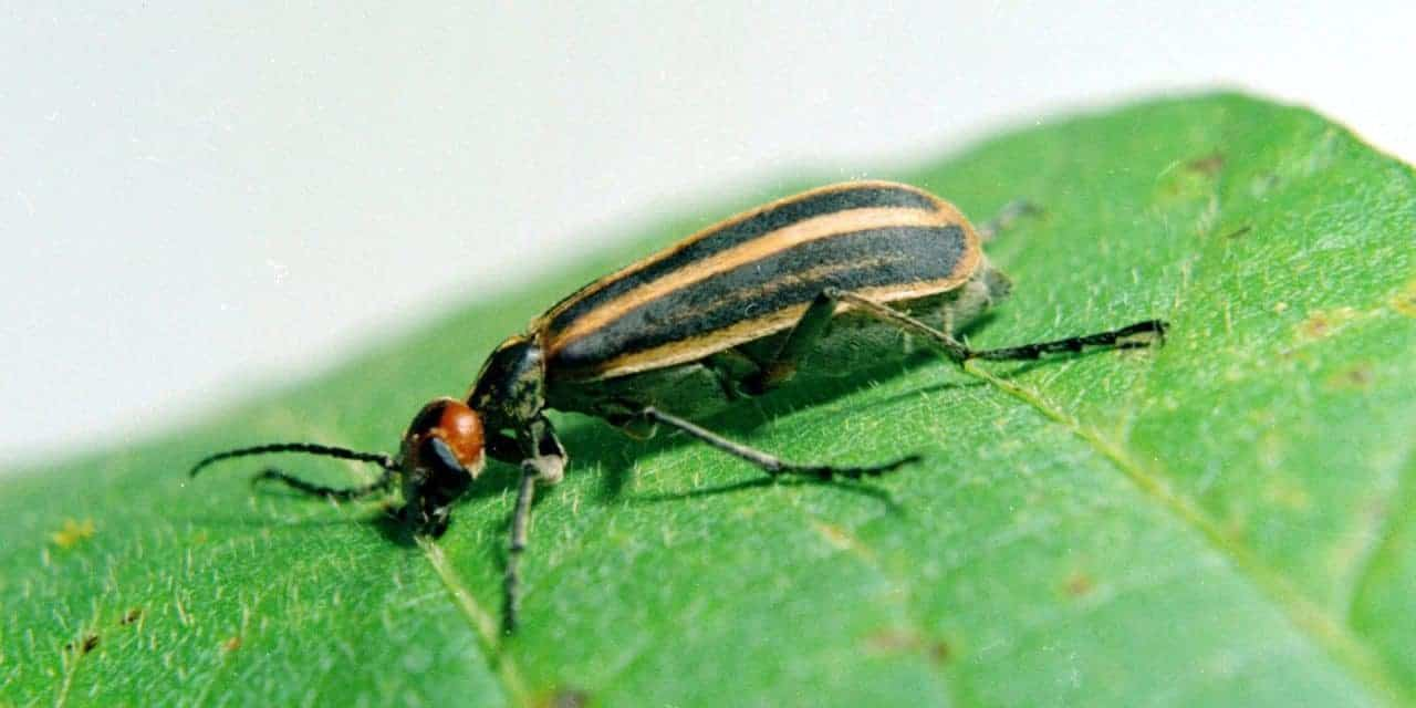 Blister Beetles: Deadly in Horse Hay – The Horse