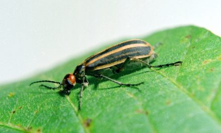 Wisconsin Farm: Blister-Beetle-Infested Hay Kills 15 Horses