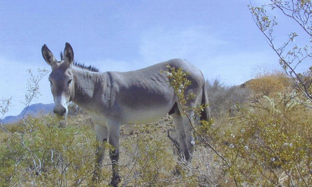 BLM Gathering Burros from Nevada's Pahrump Valley