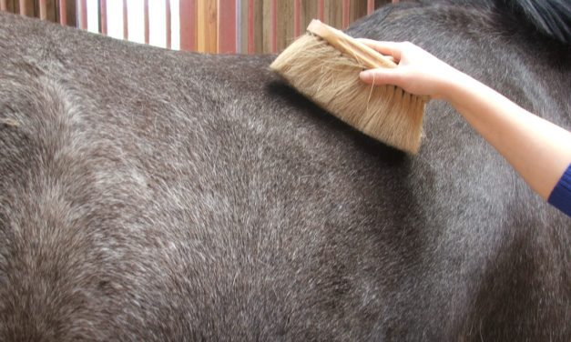 How is Rain Rot Spread Between Horses?