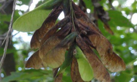 Box Elder Tree Seeds Linked to Seasonal Pasture Myopathy