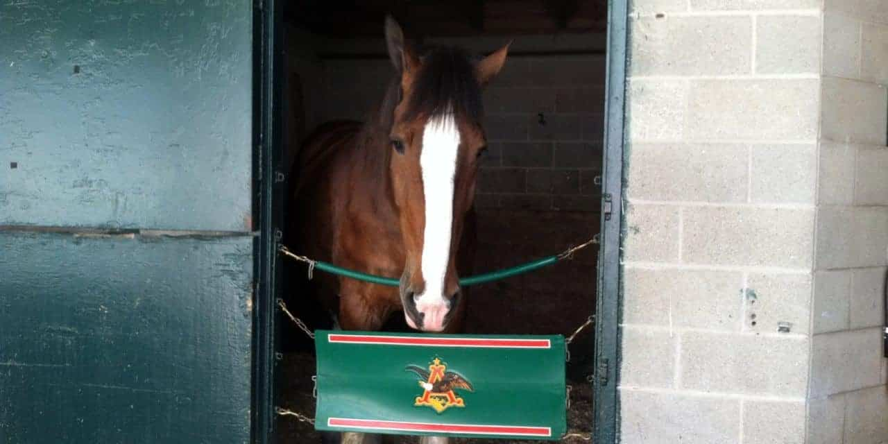 Caring for the Budweiser Clydesdales