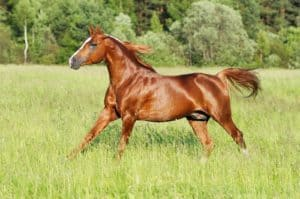 Are Chestnut Horses Crazy? Not Necessarily, Scientists Say