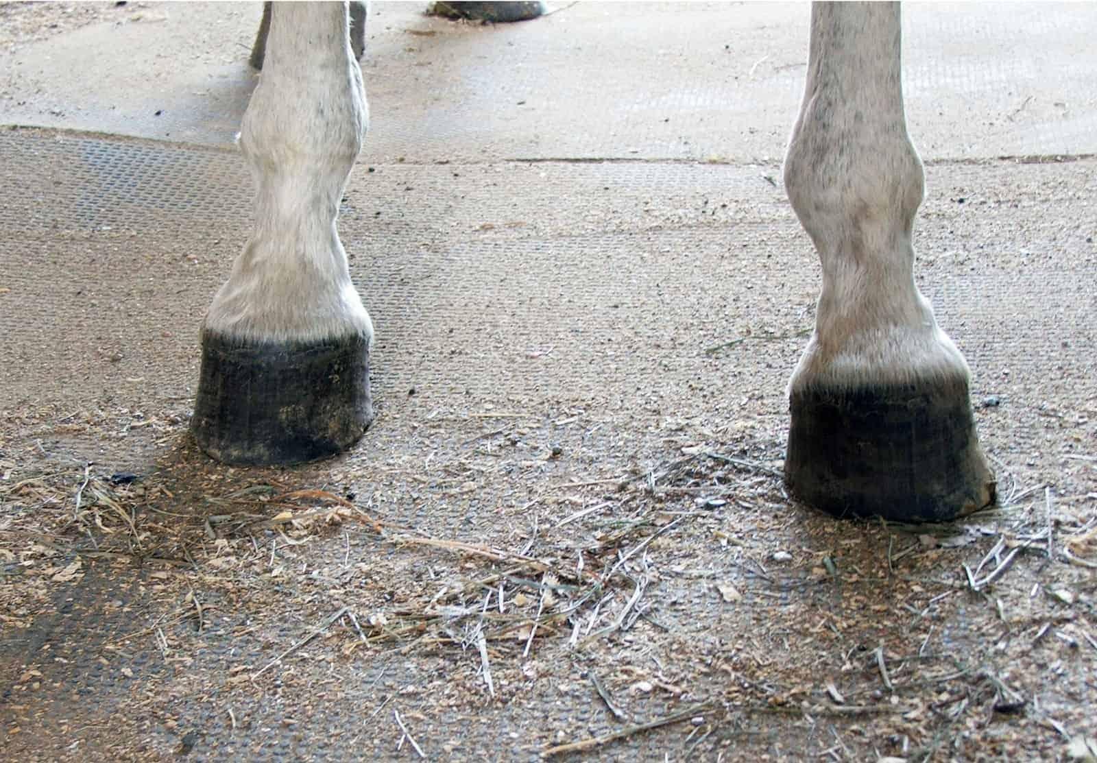 Club Foot Heritability in Horses