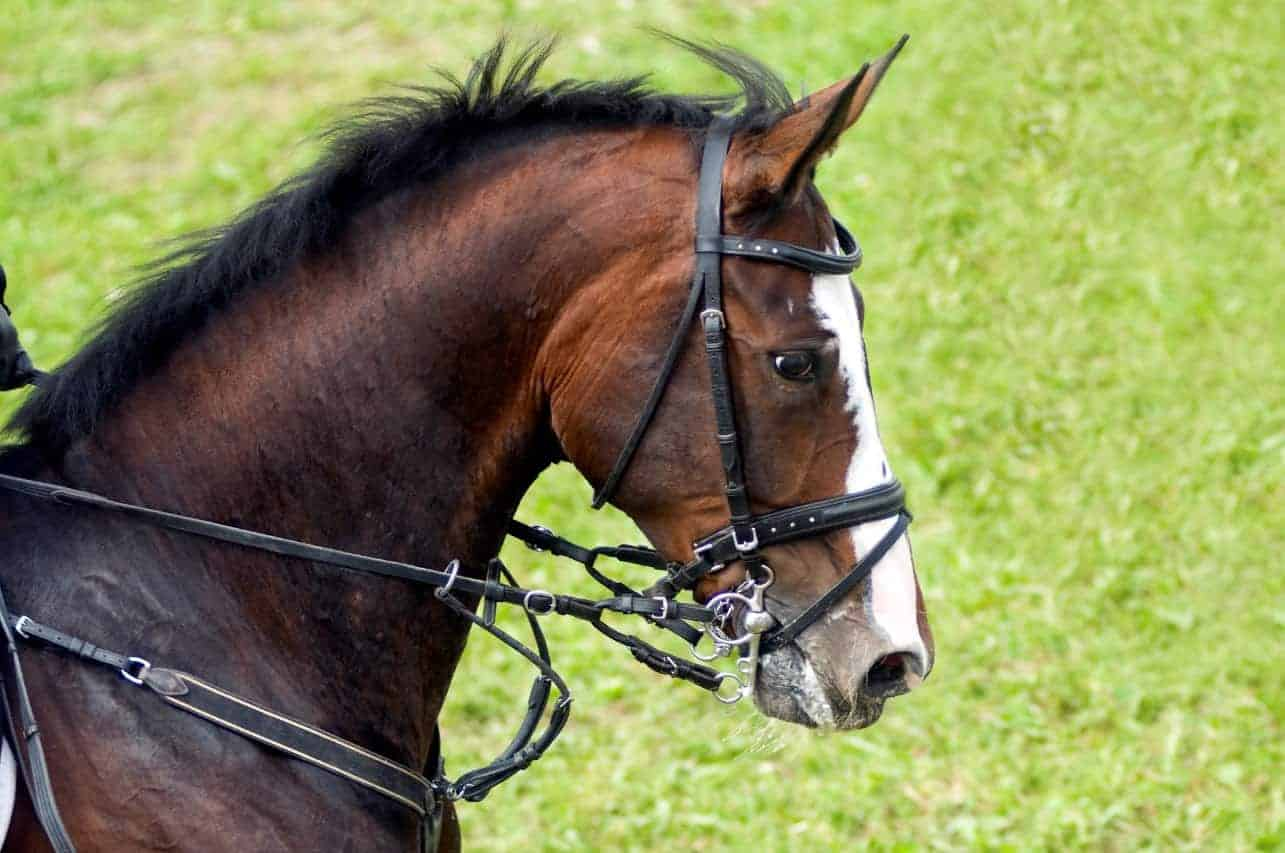 The equine respiratory system the horse the equine respiratory tract is so highly specialized for exercise that even the slightest deviation from normal can limit a horses athletic career fandeluxe Gallery