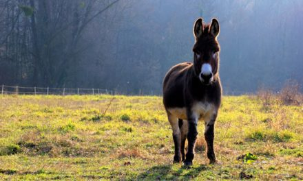 Researchers Study Glucose and Insulin Testing in Donkeys