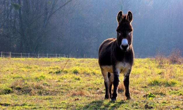New Dairy Donkey Management, Welfare Guidelines Published