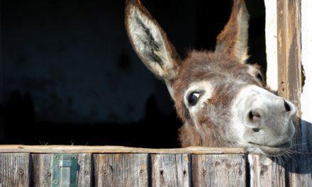 Stubborn as a Donkey?