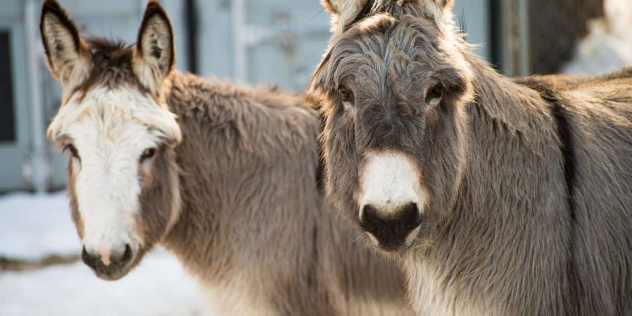 Study: Donkeys Need Added Protection in Cold Climates