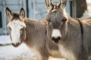 Related Content | Study: Donkeys Need Added Protection in Cold Climates