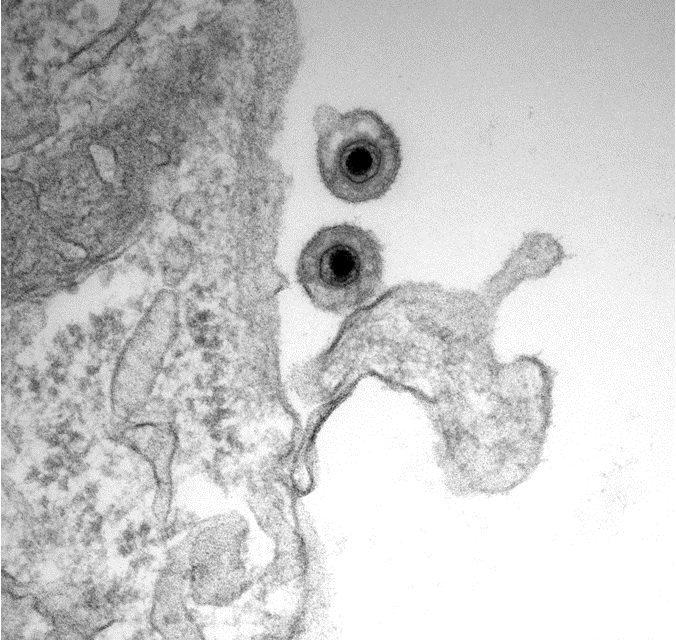 Equine Herpesvirus Reviewed