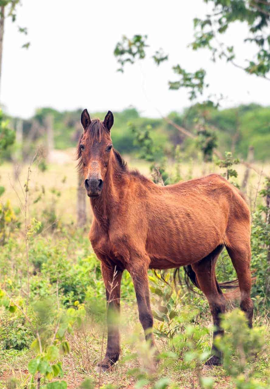 Tips for Refeeding Malnourished Horses