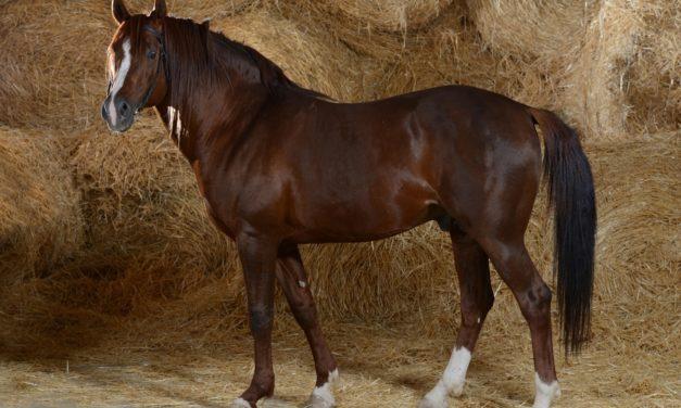 Genomewide Study Identifies Arabian Horses' Risk for EMS