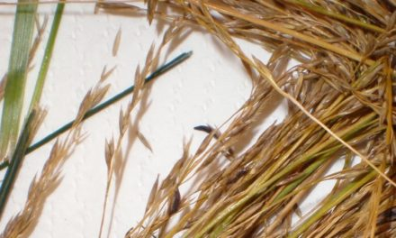 Use Caution When Bedding Horses on Rye Straw